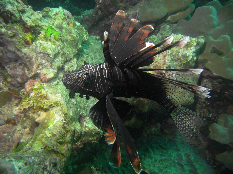 Rotfeuerfisch-1