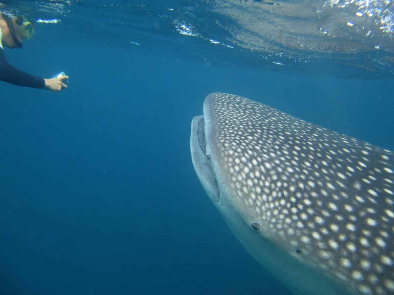 Walhai-Tiere-Dschibuti-Tauchen