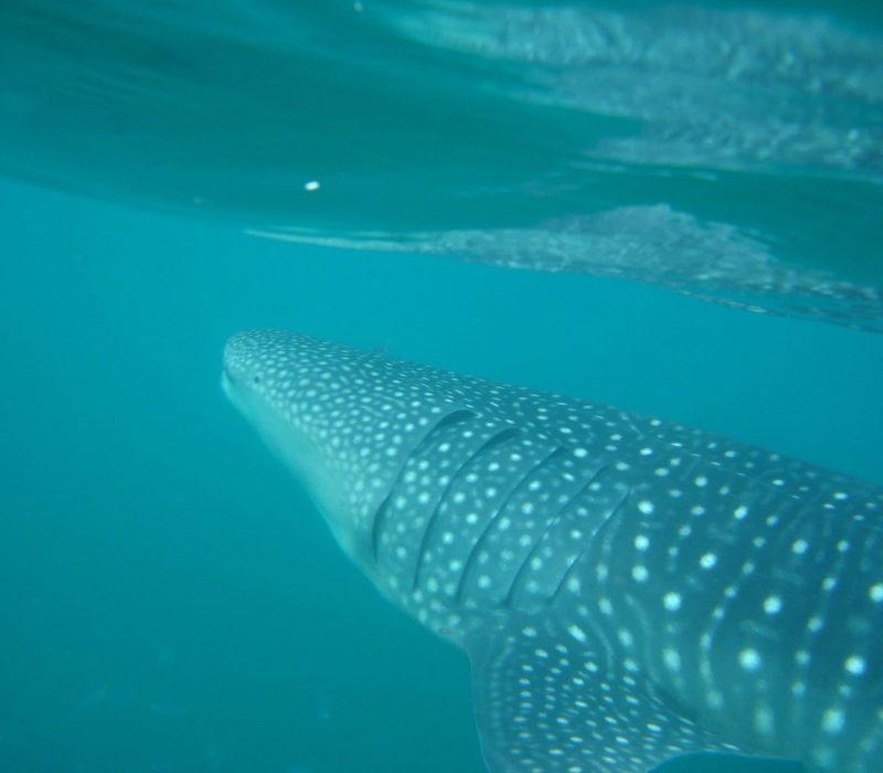 requin-baleine2.jpg